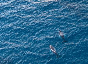 Baleines au large de la Guadeloupe